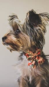 Yorkshire Terrier - best dog breeds for retired couple