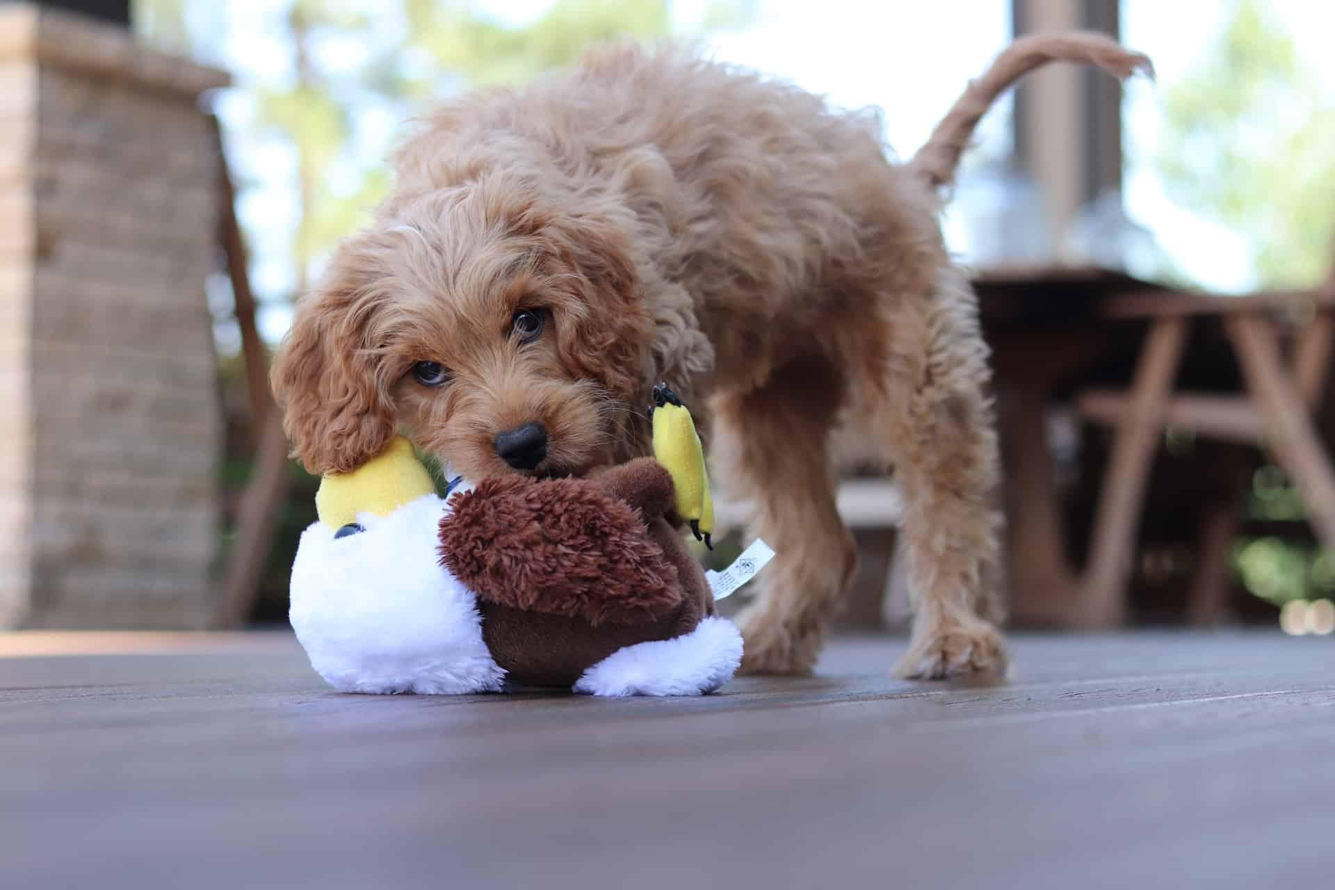 toy poodle breed NewDoggy.com