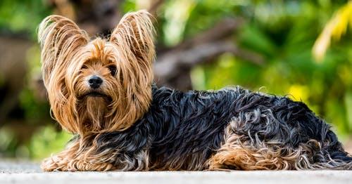 yYorkshire Terrier breed info Newdoggy.com