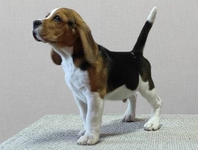 Beagle breed info NewDoggy..com