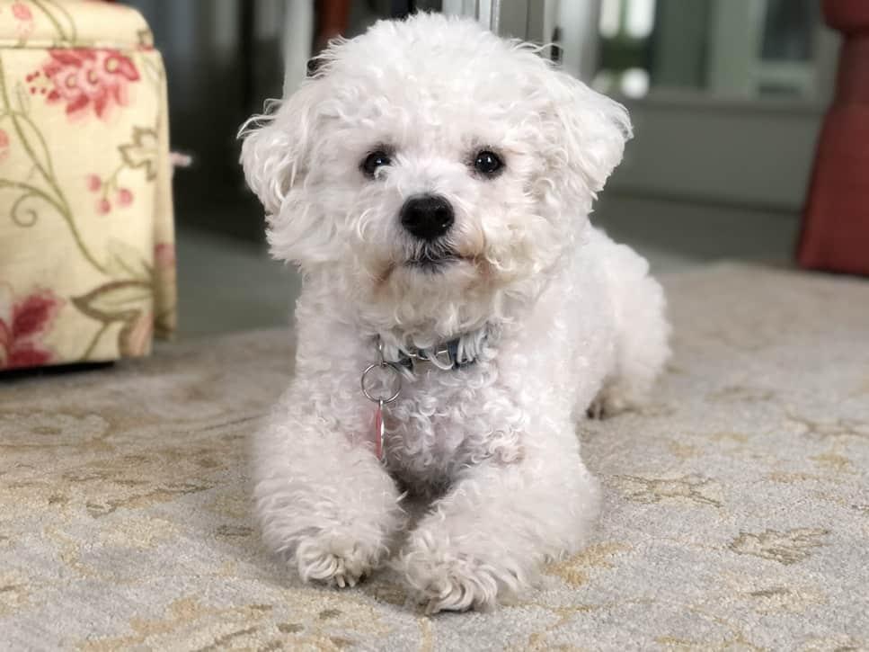 Bichon frisé Newdoggy.com