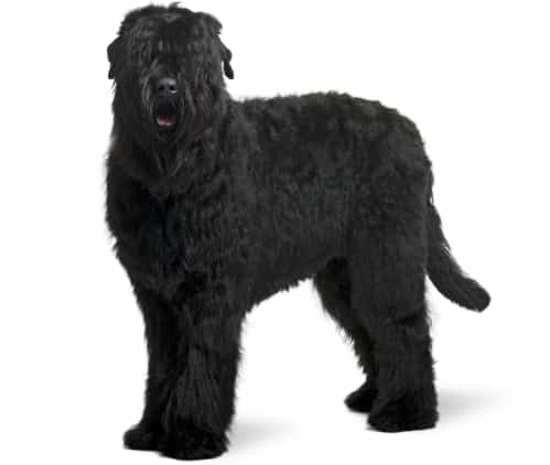 Black Russian Terrier breed info NewDoggy.com