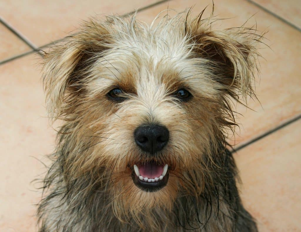 Cairn Terrier breed info NewDoggy.com