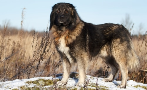 Caucasian Mountain Dog NewDoggy.com