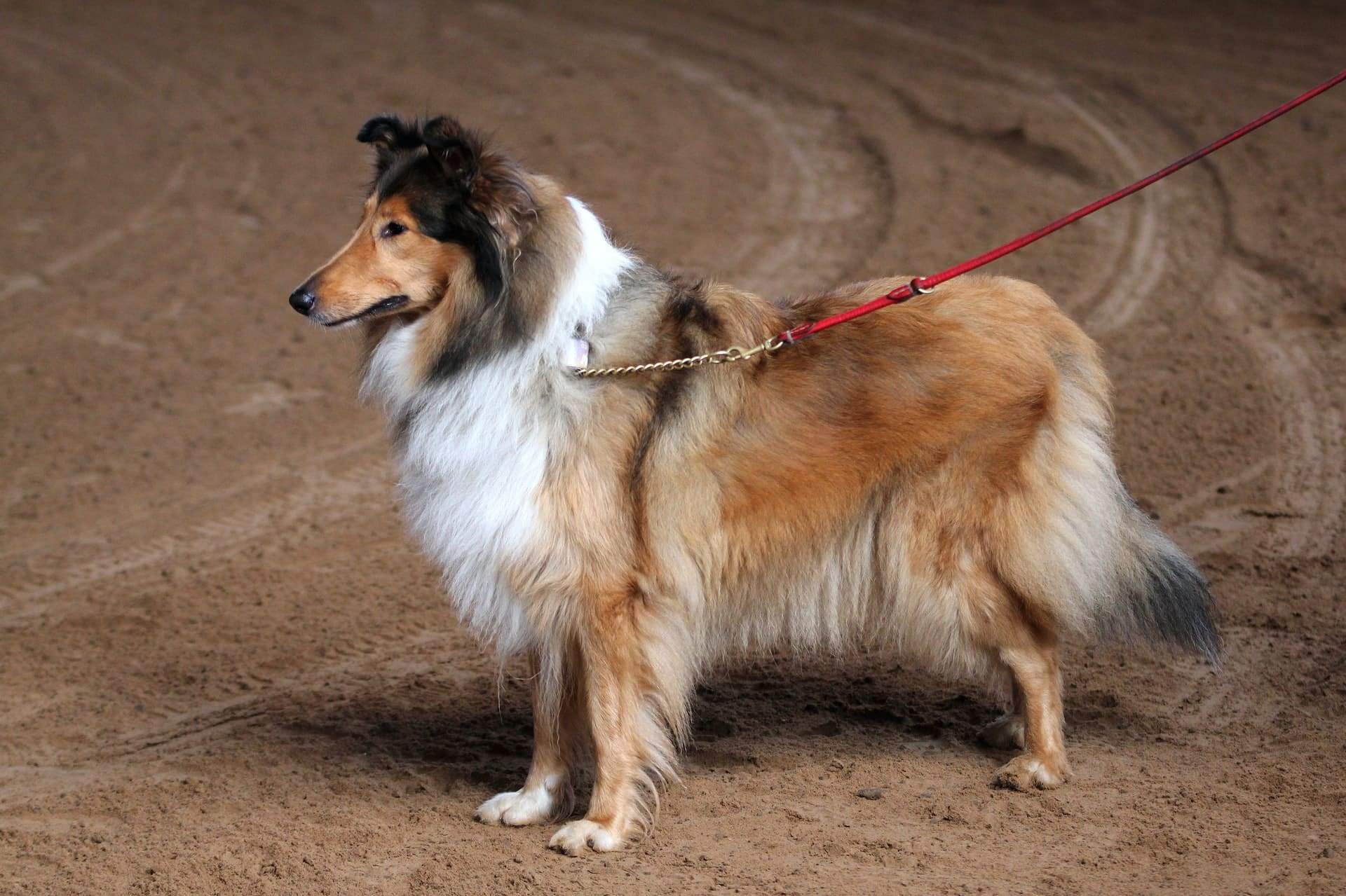 Collie breed info NewDoggy.com