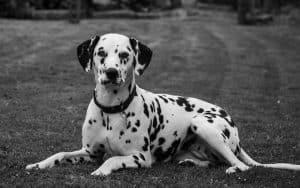Dalmatian Breed info NewDoggy.com