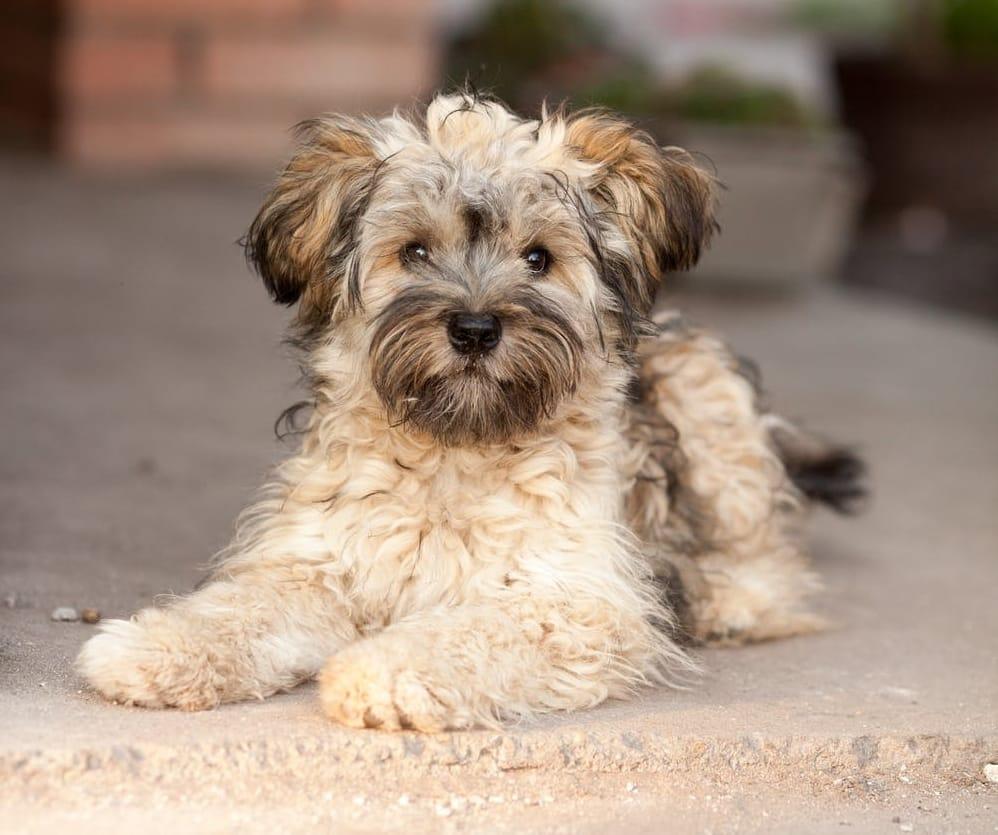 Havanese breed info NewDoggy.com