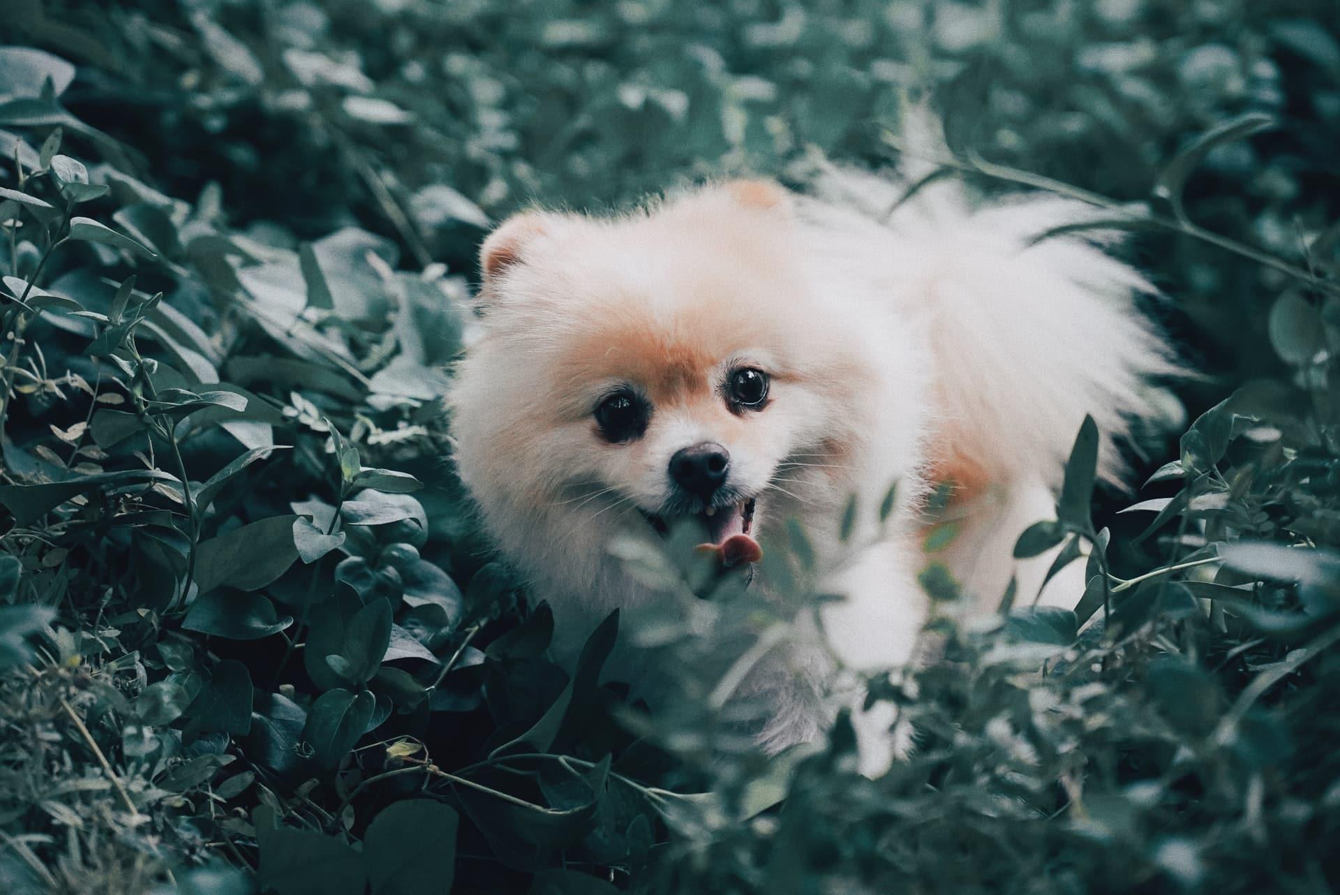Pomeranian breed info NewDoggy.com