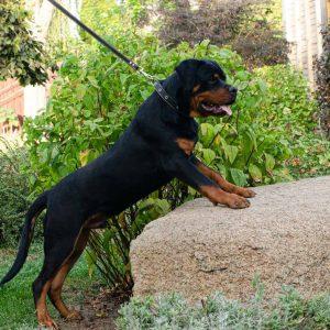 Quaxus Rottweiler