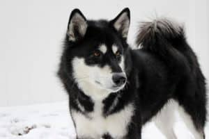 Siberian Husky breed info NewDoggy.com