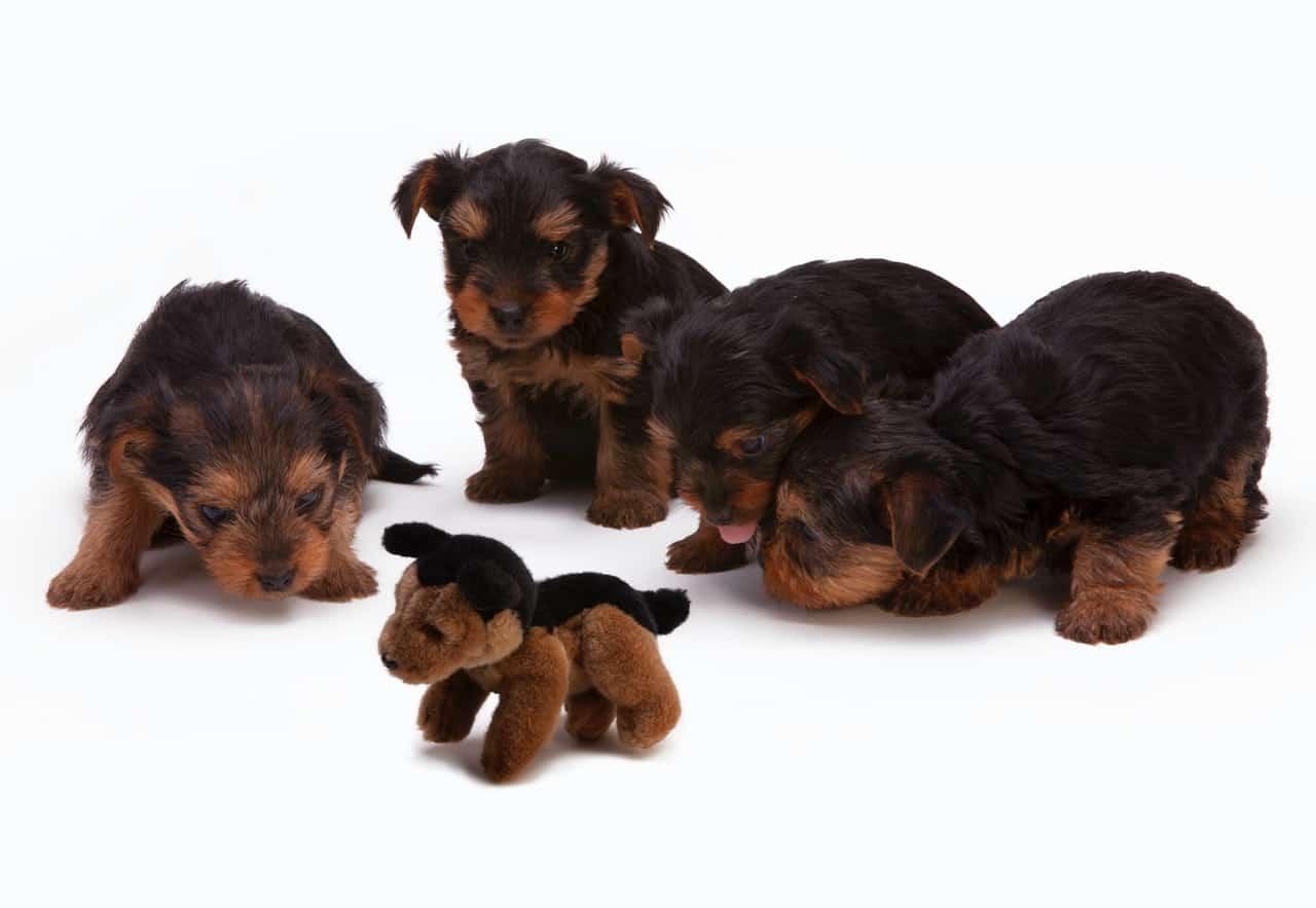 Toy Fox Terrier NewDoggy.com
