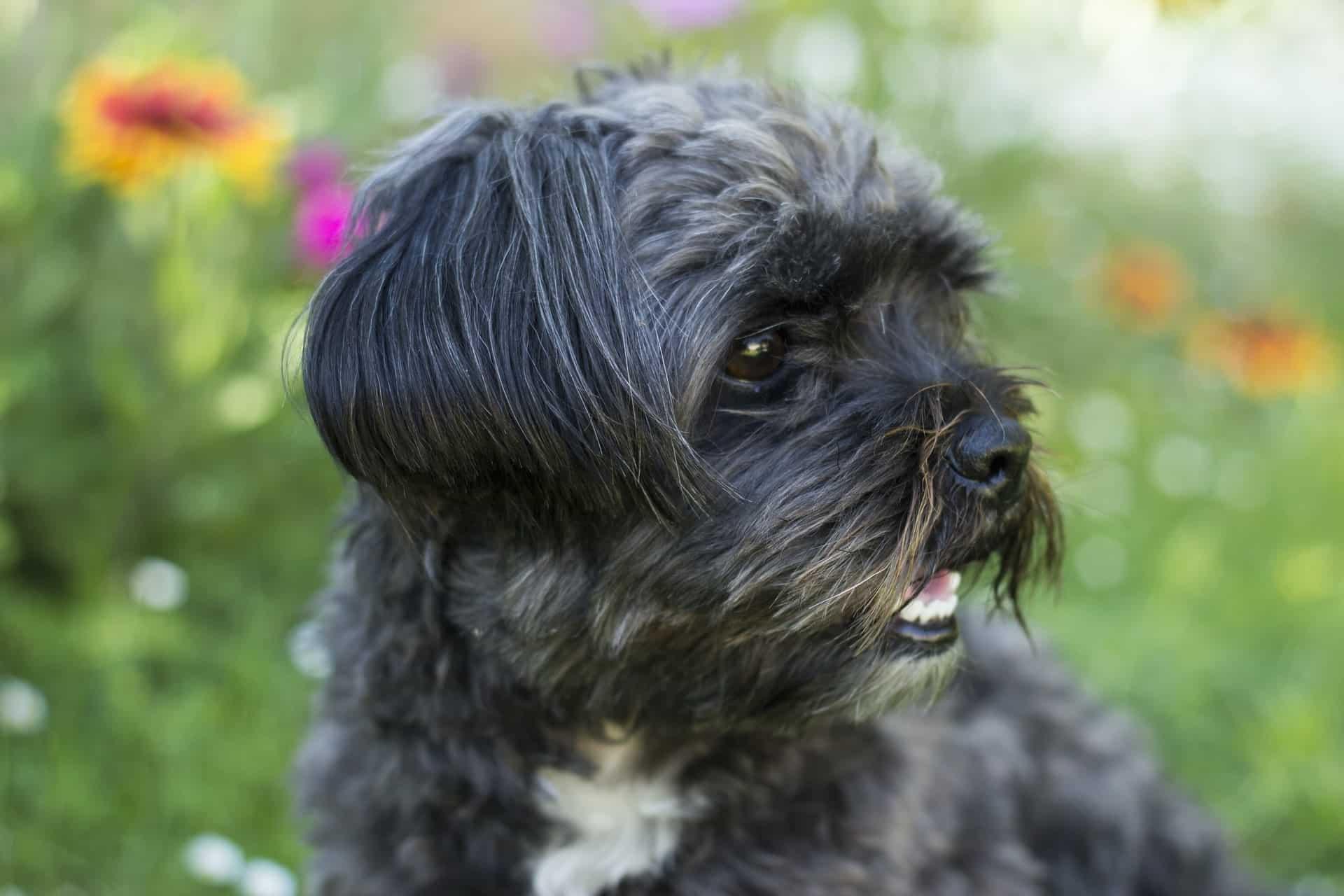 Affenpinscher breed info NewDoggy.com