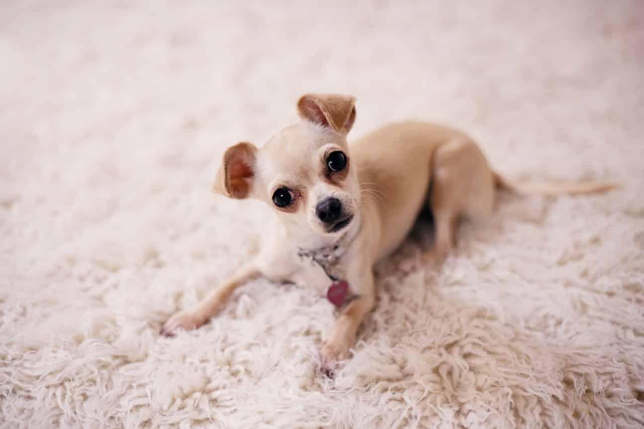 Chihuahua breed info NewDoggy.com