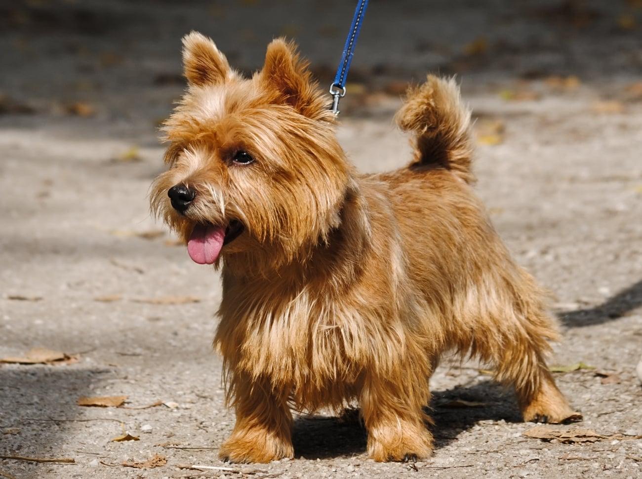 Norwich Terrier breed info NewDoggy.com