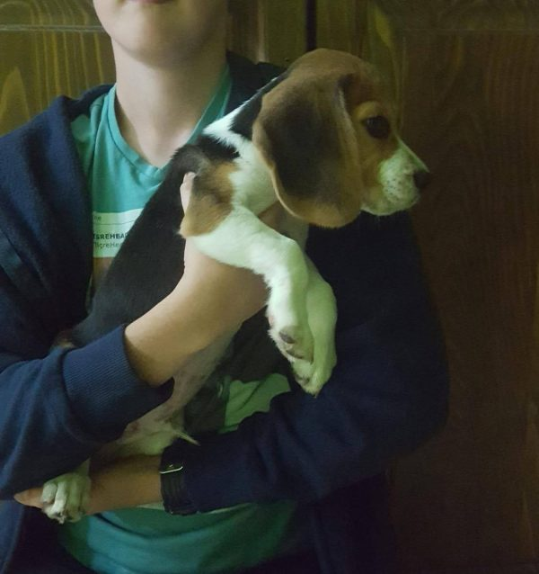 kimbo-male-beagle-puppy-for-sale03
