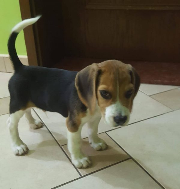 kimbo-male-beagle-puppy-for-sale04