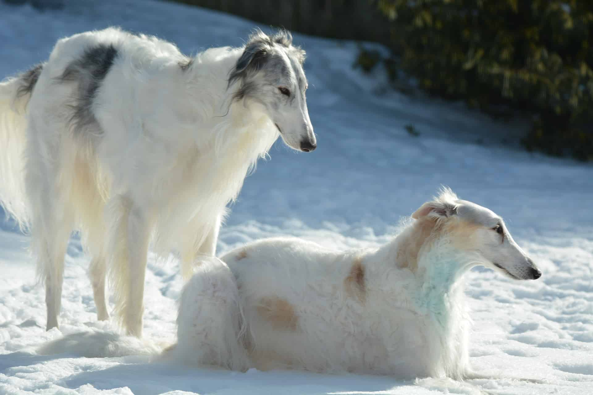 Borzoi breed info NewwDoggy.com