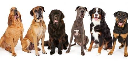 Giant Dog Breeds blog NewDoggy.com