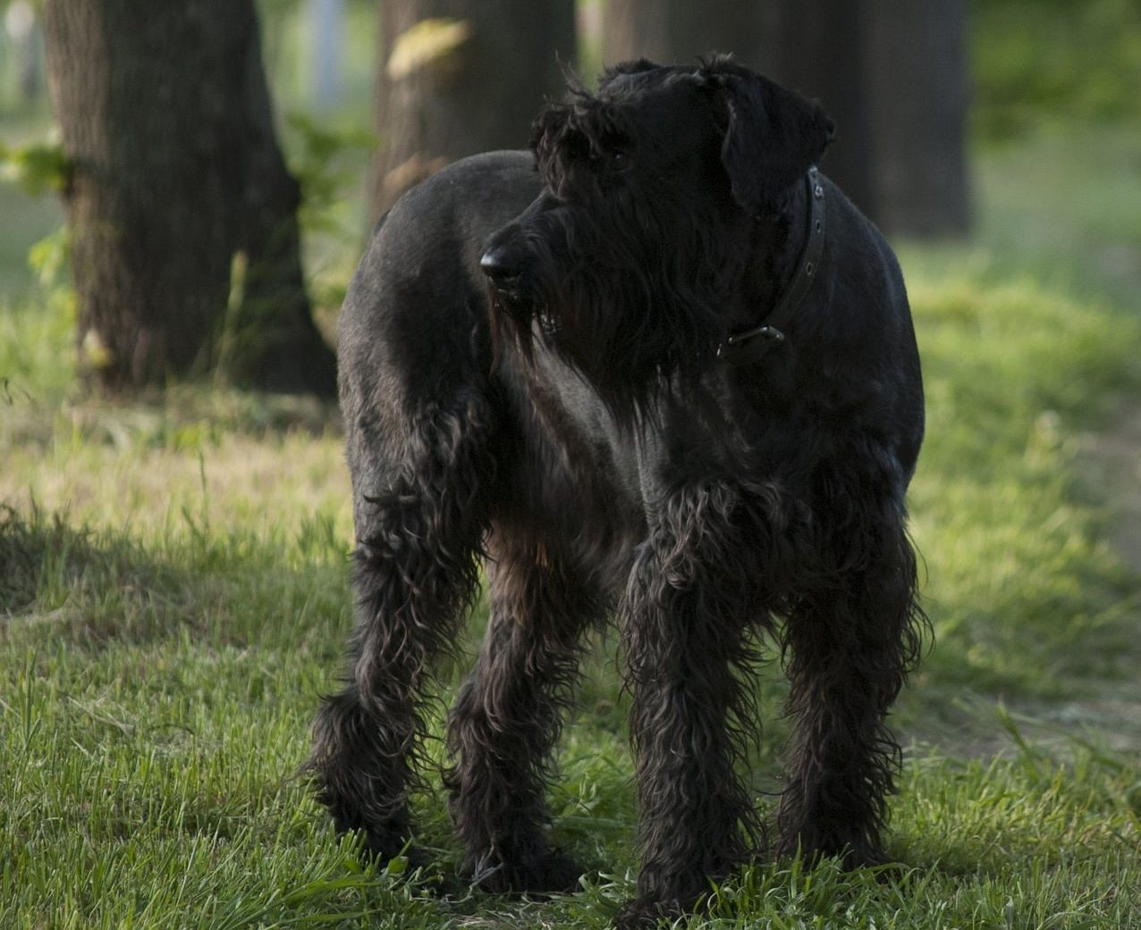 Giant Schanuzer breed info NewDoggy.com