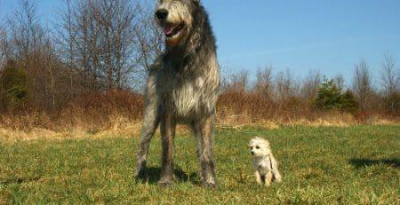 Irish dog breeds blog NewDoggy.com