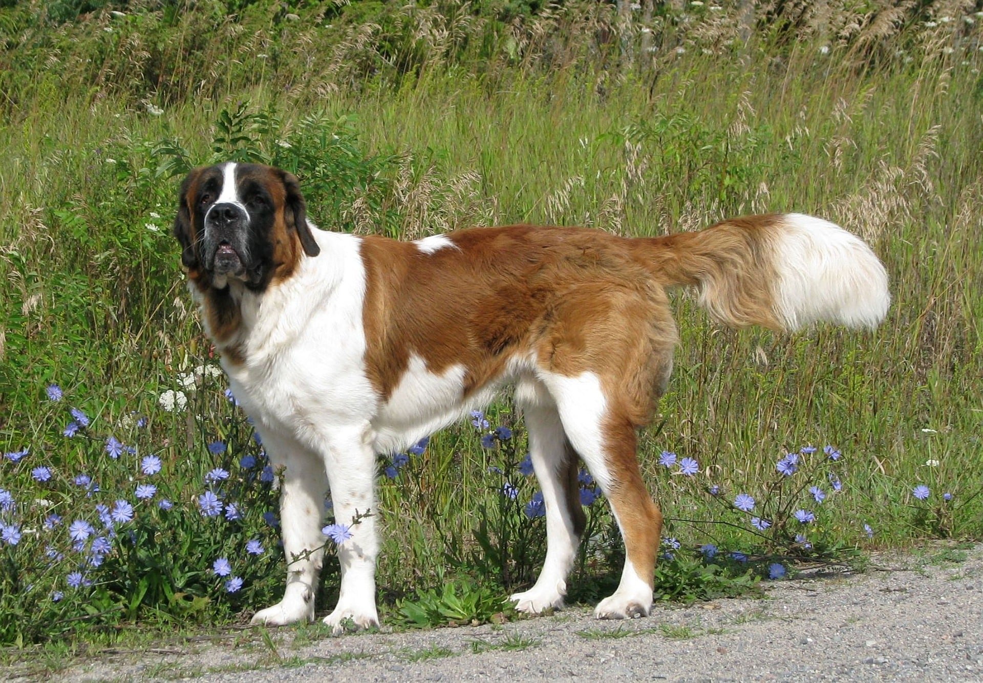 Saint Bernard breed info NewDoggy.com