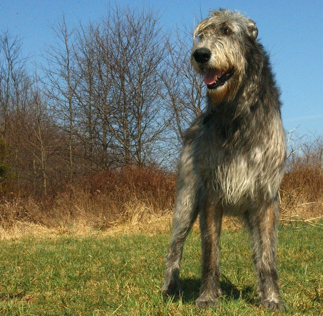 Irish Wolfhound breed info NewDoggy.com