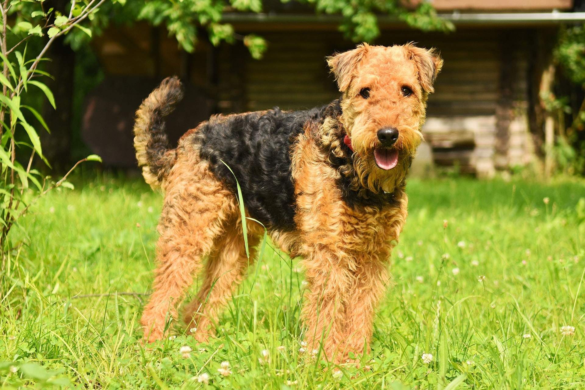 Airedale Terrier dog breed info NewDoggy.com