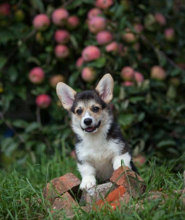 Karly-male-Welsh-Corgi-puppy-for-sale (1)