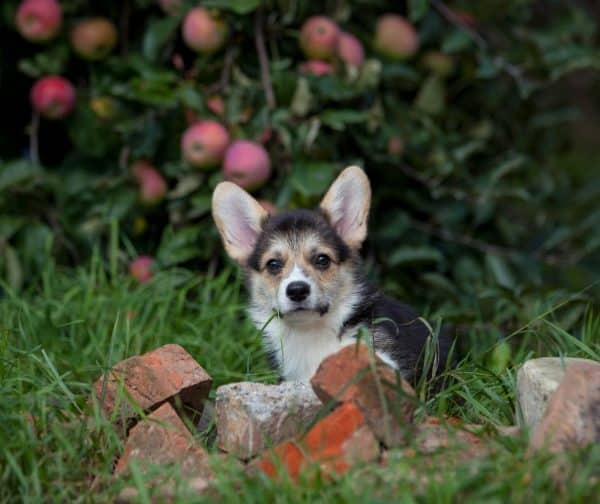 Karly-male-Welsh-Corgi-puppy-for-sale (3)