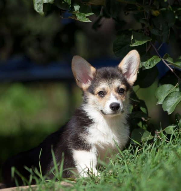Karly-male-Welsh-Corgi-puppy-for-sale (4)