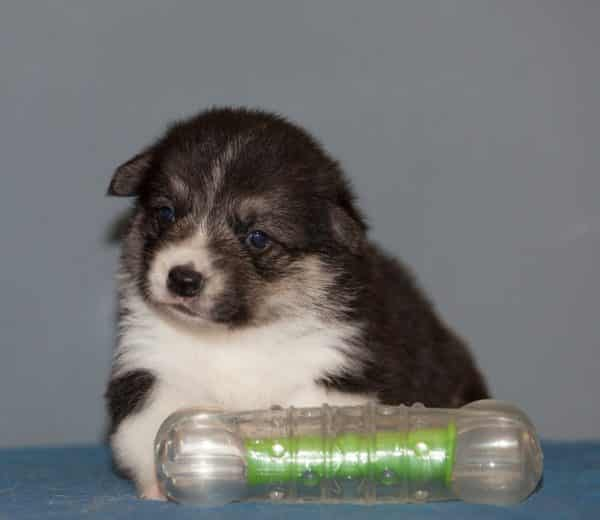 Karly-male-Welsh Corgi-puppy-for-sale (4)