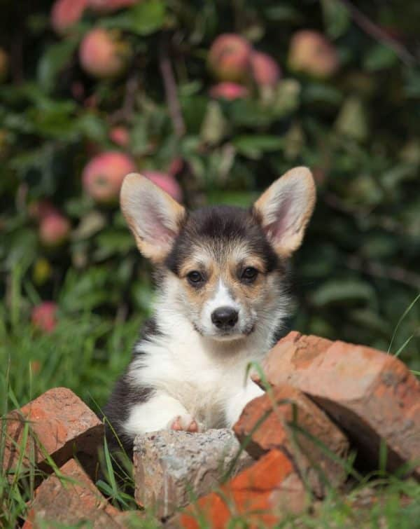 Karly-male-Welsh-Corgi-puppy-for-sale (5)