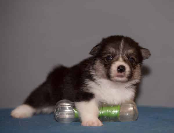 Karly-male-Welsh Corgi-puppy-for-sale (5)