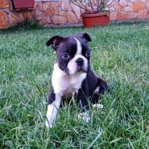 Layla Boston Terrier
