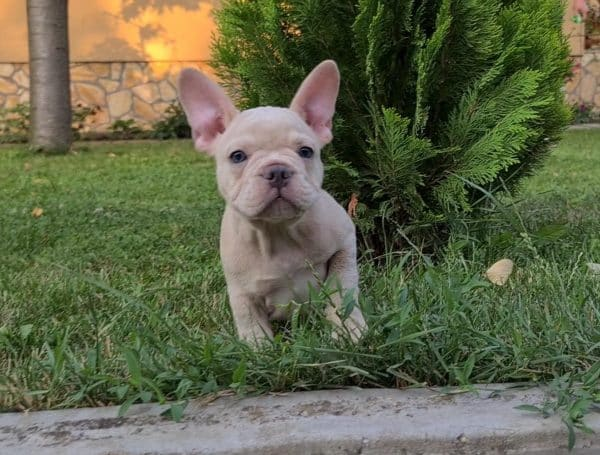 Sat-male-french-bulldog-puppy-for-sale01