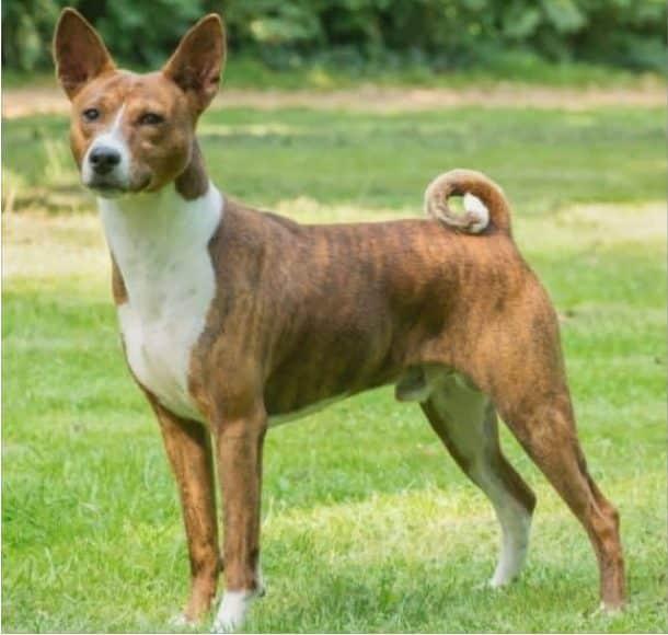 Basenji breed info NewDoggy;com